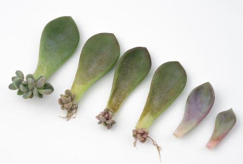 多肉植物の挿し芽
