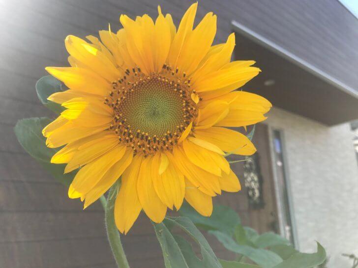 玄関先に咲いたひまわり
