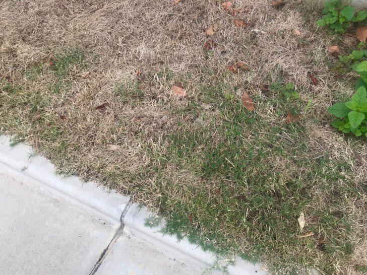 芝生が枯れた